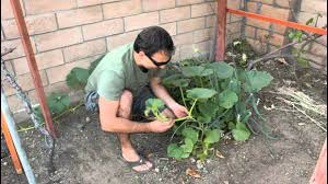 Natural Fertilizer For Pumpkins by How To Plant Pumpkin Seeds With California Gardener Youtube