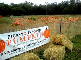 Pumpkin Farm Ct by Pumpkin Patch At Queens County Farm Musuem Kids Out And About