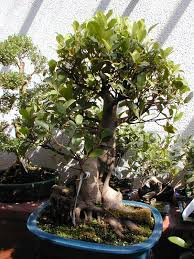 pot bonsai grande taille ficus retusa wikipédia