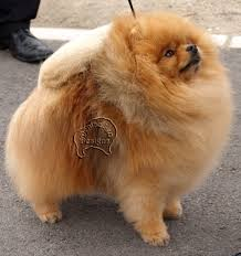 Do All Dogs Shed Fur by Pomeranians And Shedding Pomeranian Information And Facts