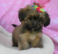 non shedding hypoallergenic hybrid dogs non shedding breeds small pet photos gallery mgvbxbp2x5