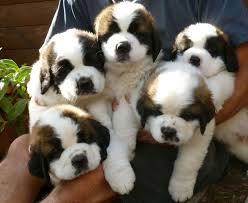 Do Smooth Coat St Bernards Shed by 46 Best Saints Images On Pinterest Saint Bernard Puppies Big