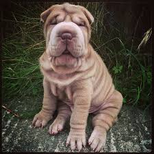 Do Shar Peis Shed Hair by 415 Best Shar Pei Images On Pinterest Shar Pei Puppies And Dog