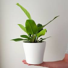 Philodendron Imperial Green In White Botanist Plants Indoor