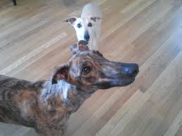 Why Is My Italian Greyhound Shedding by Greyhound U0026 Whippets The Differences The Similarities Hazel