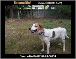 Do Treeing Walker Coonhounds Shed by North Carolina Treeing Walker Coonhound Rescue U2015 Adoptions