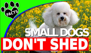 Shih Tzu Lhasa Apso Shedding by 10 Small Dog Breeds That Don U0027t Shed Small Non Shedding Dogs