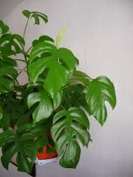 plantes vertes d interieur plante verte philodendron grosse plante interieur maison