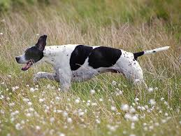 Dogs That Shed The Most Least by Pointer Dog Breed Information Pictures Characteristics U0026 Facts