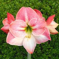 amaryllis bulbs for sale easy to grow bulbs