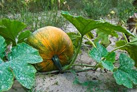 Stages Of Pumpkin Growth by The Role Of Rules In A U0027moral Education U0027 The Japan Times