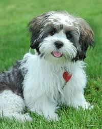 lhasa apso puppy shedding lhasa apso puppy a hypo allergenic breed i would to