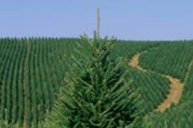 Christmas Tree Preservative Recipe Sugar by Zero Waste Christmas Trees Whole Foods Market