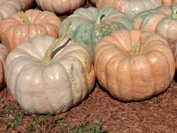 What Kinds Of Pumpkins Are Edible by When To Harvest Pumpkins Hgtv