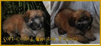 Do Wheaten Terrier Dogs Shed by Non Shedding Wheaten Terrier Dog Puppies Friendly Loving Breeder