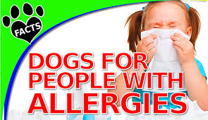 Hypoallergenic Dogs That Dont Shed Much by 10 Dogs That Don U0027t Shed Too Much For People With Allergies