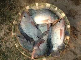 Monosex Tilapia Farming Fish Commercial