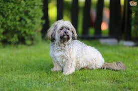 My Lhasa Apso Is Shedding Hair by Lhasa Apso Dog Breed Information Buying Advice Photos And Facts