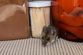 souris cuisine rant de entre des produits alimentaires une souris de maison