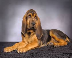 Do Redbone Coonhounds Shed by Pin By Tammy Haas On Bloodhound Pinterest Bloodhound