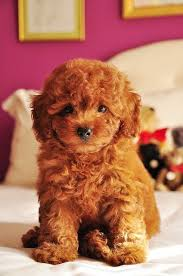 do cavapoos shed a lot 43 best i dogs images on puppies cavapoo puppies