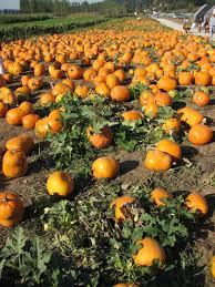Pumpkin Patch Dixon Il by Les 25 Meilleures Idées De La Catégorie Local Pumpkin Patch Sur