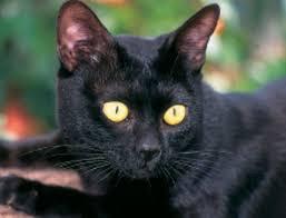 bombay cats bombay cats