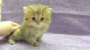 tea cup cat elvis is 4 weeks now teacup lightly shaded golden