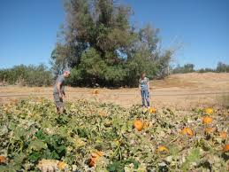Tucson Pumpkin Patch by Swdeserthomes In Tucson Marana Oro Valley Vail U0026 More Marana