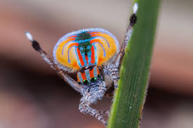 Remains Of The Day Spiders by Female Peacock Spiders Underwhelmed By Disco Dancing Suitors