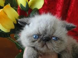 shorthair cat price napoleon kittens napoleon kittens for in pa 1 napoleon