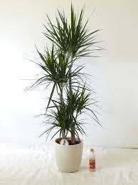 palmenlager dracaena marginata 4er tuff 160 170 cm drachenbaum zimmerpflanze