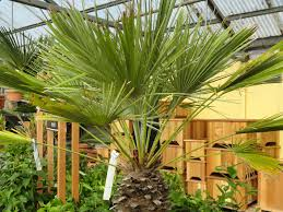What Christmas Tree To Buy by Danger Garden Is It Too Early To Buy My Christmas Tree Palm