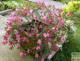 la plantation d une azalée japonaise en pot jardipartage
