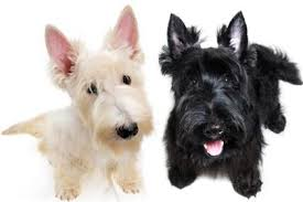 3 dog breeds that don t shed really my mom had a black scottish