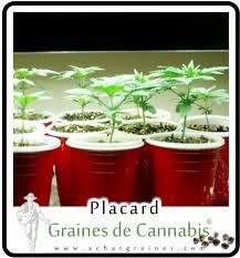 la floraison culture du cannabis et marijuana en placard