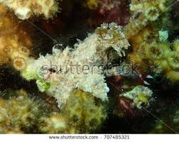 decorator crabs eat fish decorator crab hiding yellow coral stock photo 707484292