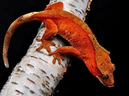 Crested Gecko Shedding Behavior by Crested Gecko Rhacodactylus Ciliatus Facts And Pictures