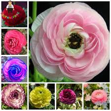 100pcs ranunculus flower seeds home diy buttercup