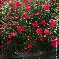 oleander laurier à fleurs simples rouges