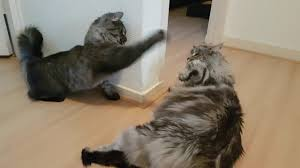 forest cat vs maine coon maine coon vs forest cat