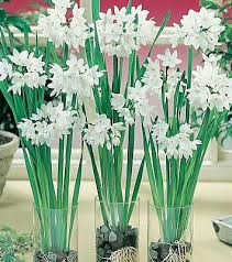i got a few paperwhites from trader joes and i t managed to