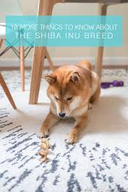 Do Shibas Shed A Lot by What You Should Know About The Shiba Inu Breed