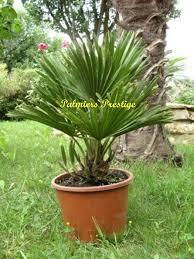 prix des palmiers exterieur chamaerops humilis vulcano vente des plus beaux palmiers d