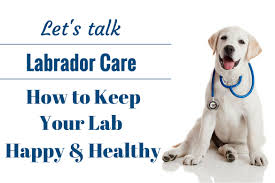 List Of Dogs That Shed A Lot by An Introduction To Caring For A Labrador Retriever