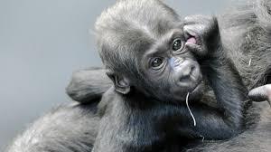 Brookfield Zoo Halloween Activities by Brookfield Zoo U0027s Baby Gorilla Gets Name Nbc Chicago
