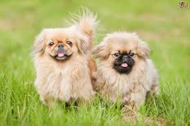 Small Dogs That Dont Shed Hair by Pekingese Dog Breed Information Buying Advice Photos And Facts