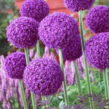 allium bulbs allium flower bulbs american