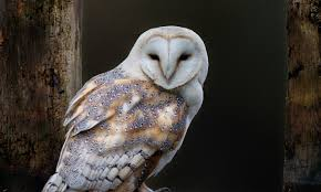 Barn Owl Wallpapers Images Photos Pictures Backgrounds Barn Owl United Kingdom Eurasian Eagleowl Wallpaper Studio 10 Tens Of Barn Owl Wallpapers And Backgrounds Pictures 72 Images By Faezza On Deviantart Bird Falconry One Animal Closeup Free Image Snowy Hd 78 Sits Pole Wooden Dove Birds Images Hd 169 High Wallpaper 1680x1050 11554 Free Backgrounds At Wildlife Monodomo 2 One Online 4k Desktop For Ultra Tv Wide