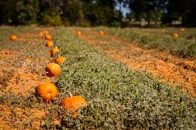 Pumpkin Patch Near Las Vegas Nv by Pumpkin Patch Bullard 75centralphotography
